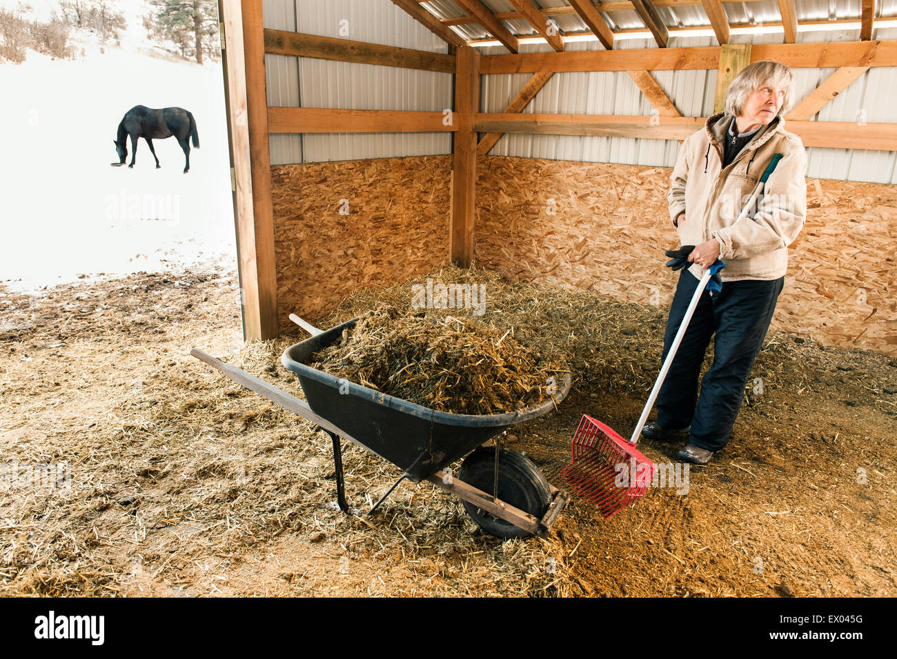 Senior adult woman in stable, filling wheelbarrow with hay - Stock Image