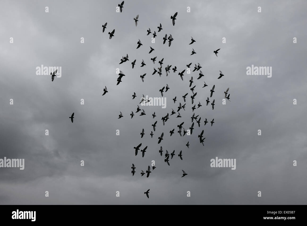 Low angle view of flock of birds and overcast sky - Stock Image