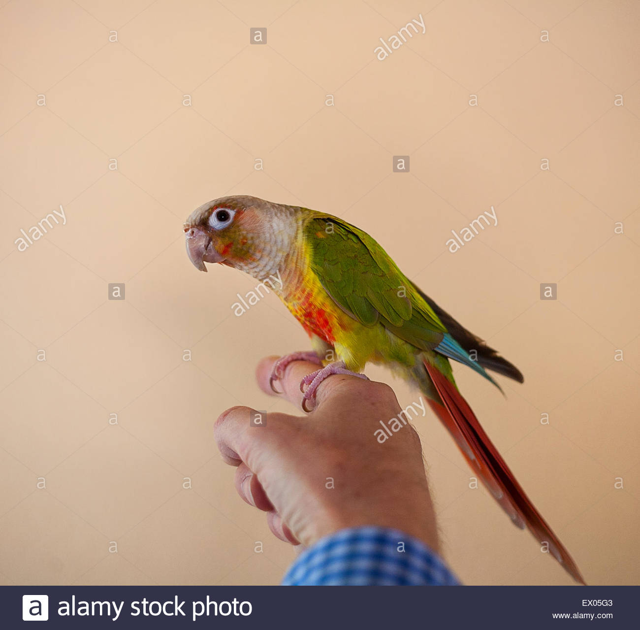 Bird perched on man's finger - Stock Image