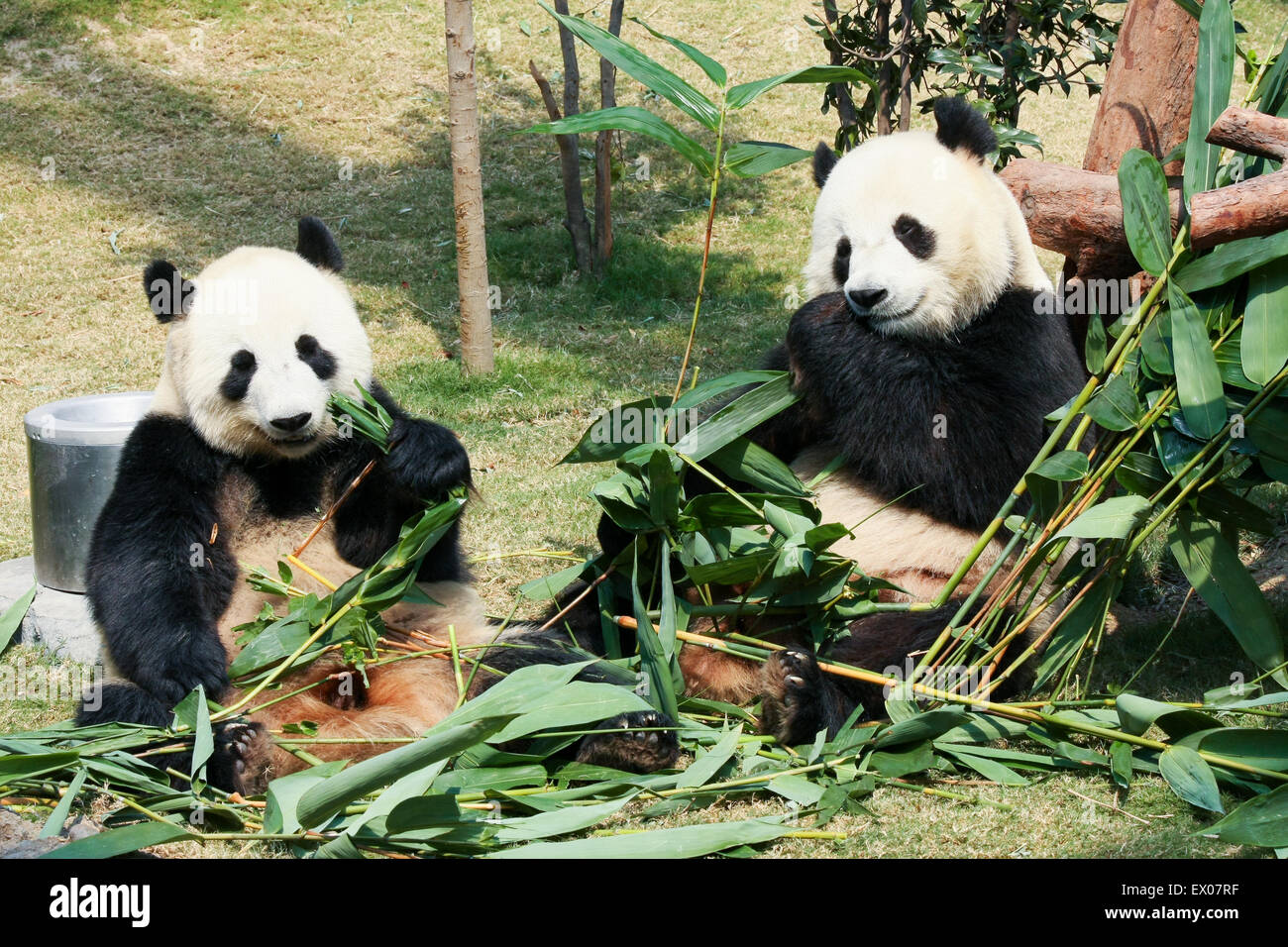 3cbec6c300d Two Pandas Bamboo Stock Photos   Two Pandas Bamboo Stock Images - Alamy