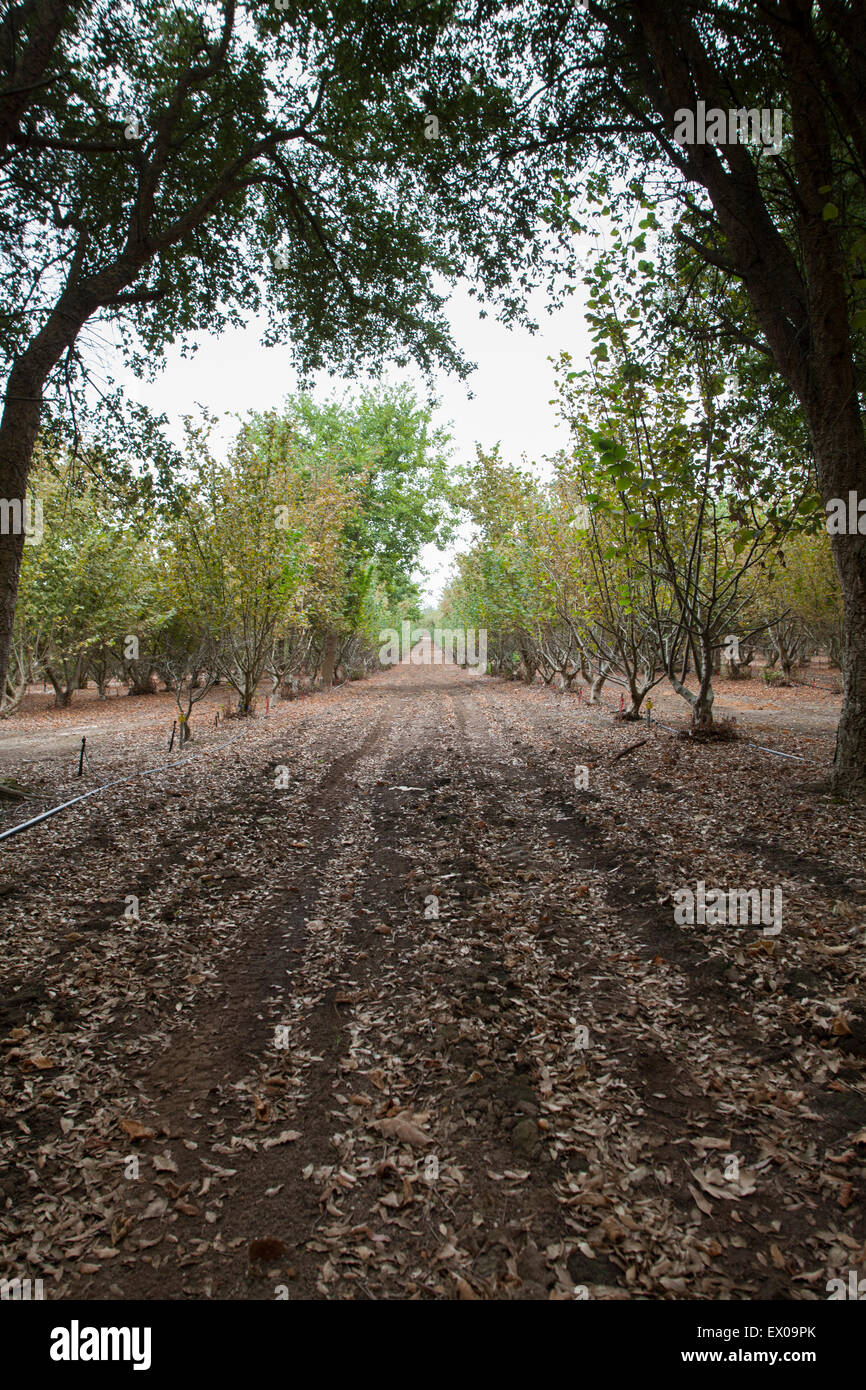 Rows of acorn trees used to cultivate black perigold truffles that grow on the roots. - Stock Image