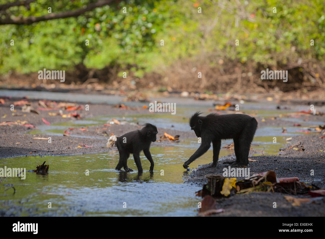 Social activity of Sulawesi black-crested macaque (Macaca nigra). - Stock Image