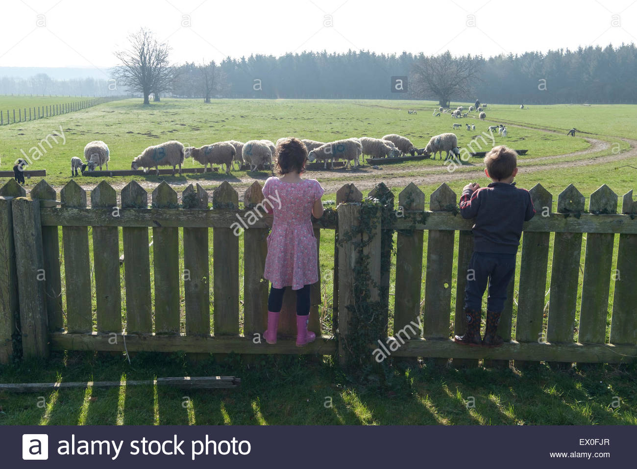 Two children looking over a fence at some sheep - Stock Image