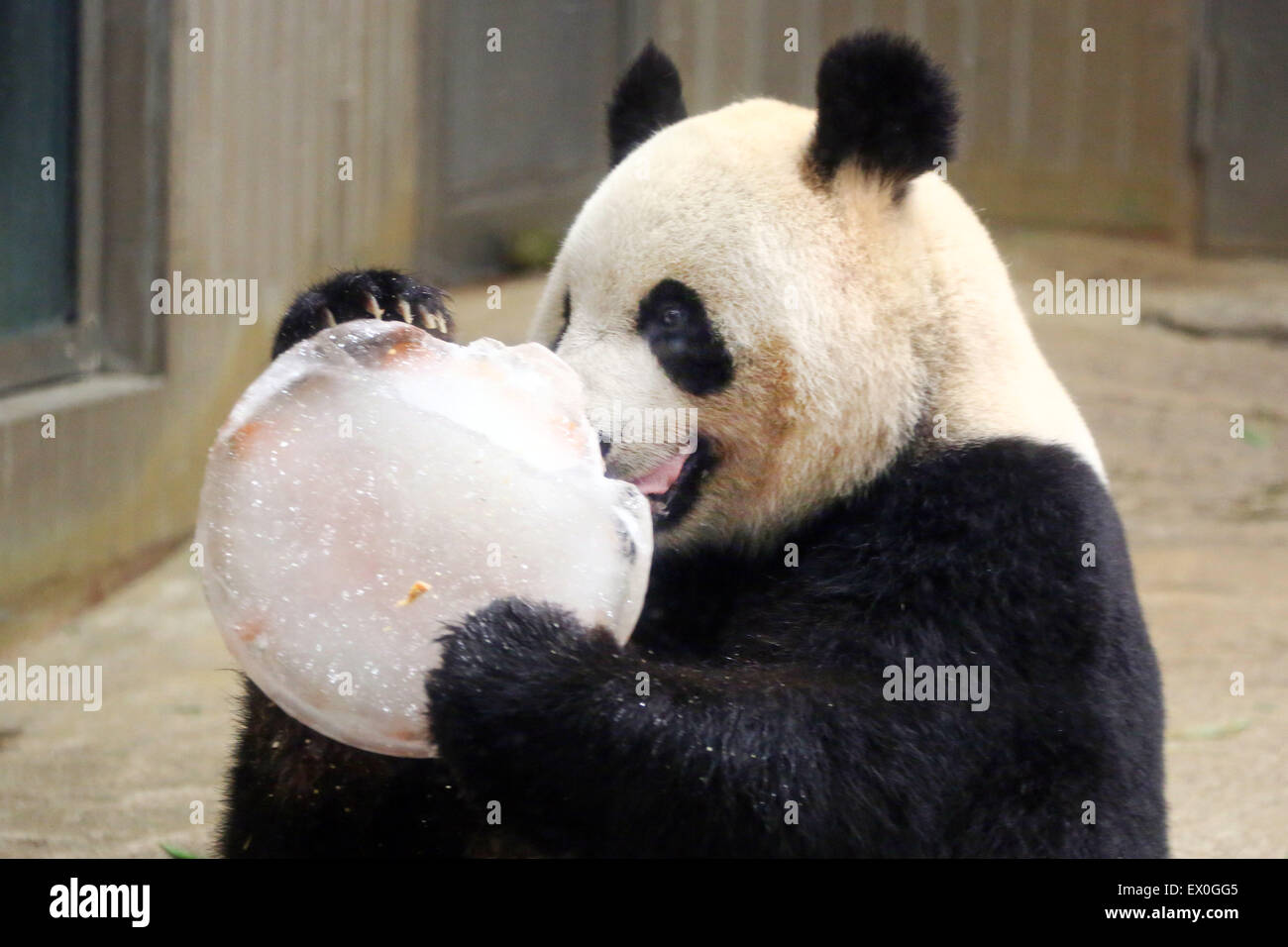 Japan, Tokyo. 3rd July 2015. Sing Sing the Giant Panda celebrated her 10th Birthday in style at Ueno Zoological - Stock Image