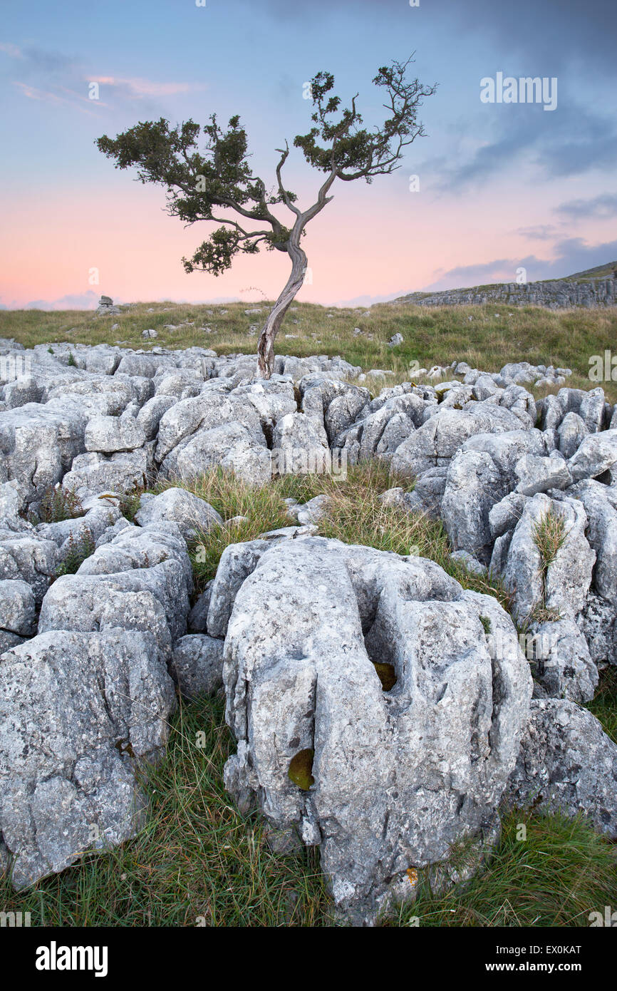 Hawthorn Tree growing between Limestone at Twisleton Scar above Ingleton, Kingsdale, Yorkshire Dales, North Yorkshire, - Stock Image