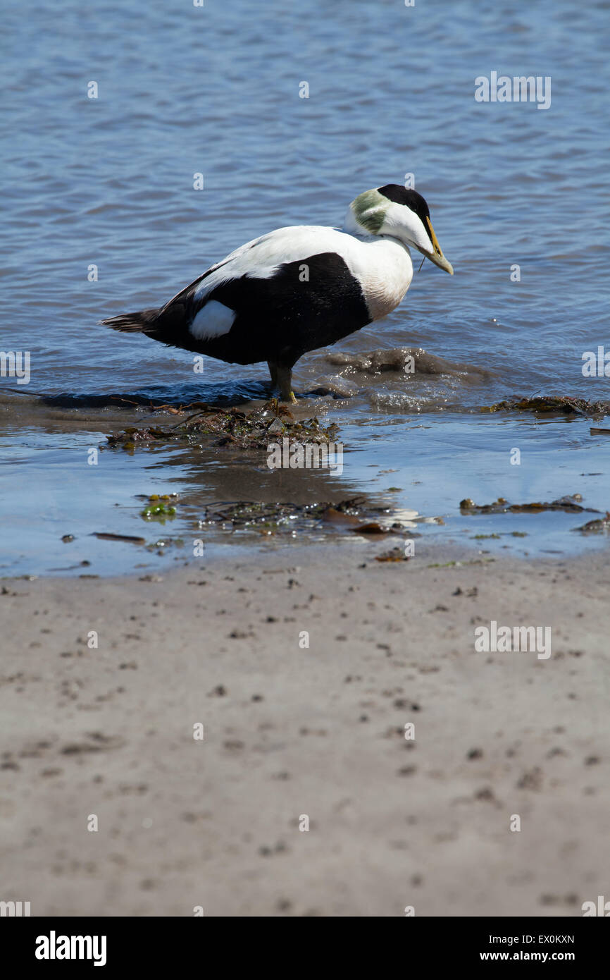 Single male eider duck on Seahouses beach Northumberland England Great Britain - Stock Image