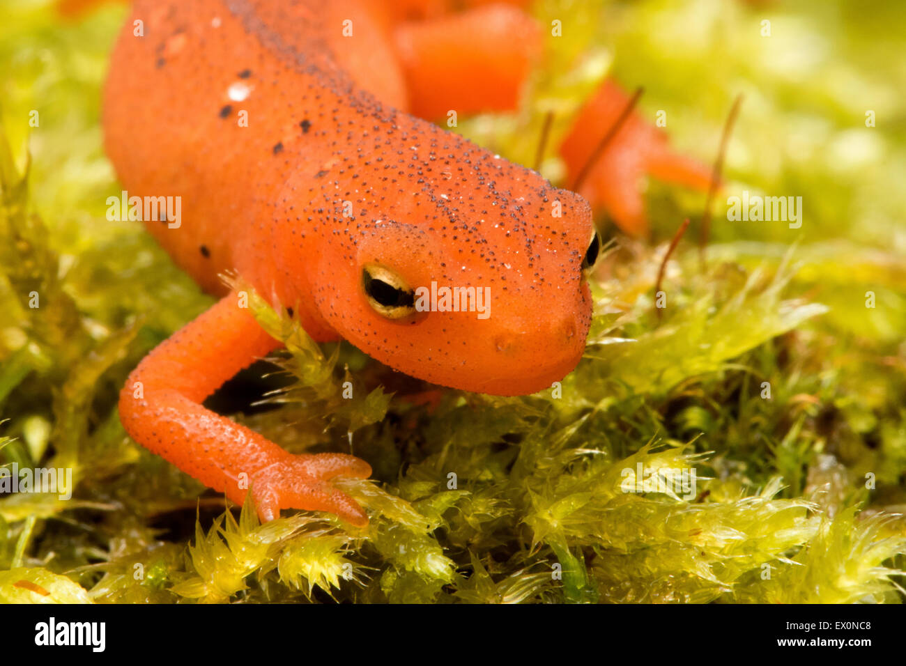Salamander of New England, orange Eastern/Red spotted Newt, Notophthalmus viridescens, Claremont, New Hampshire. Stock Photo