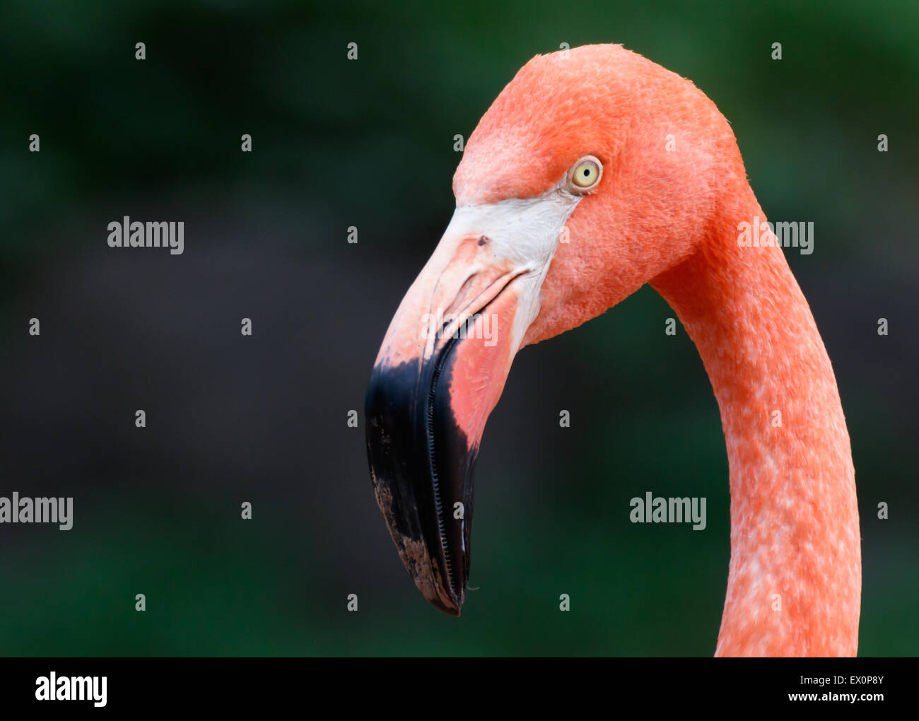 A closeup of a flamingo in a zoo. - Stock Image