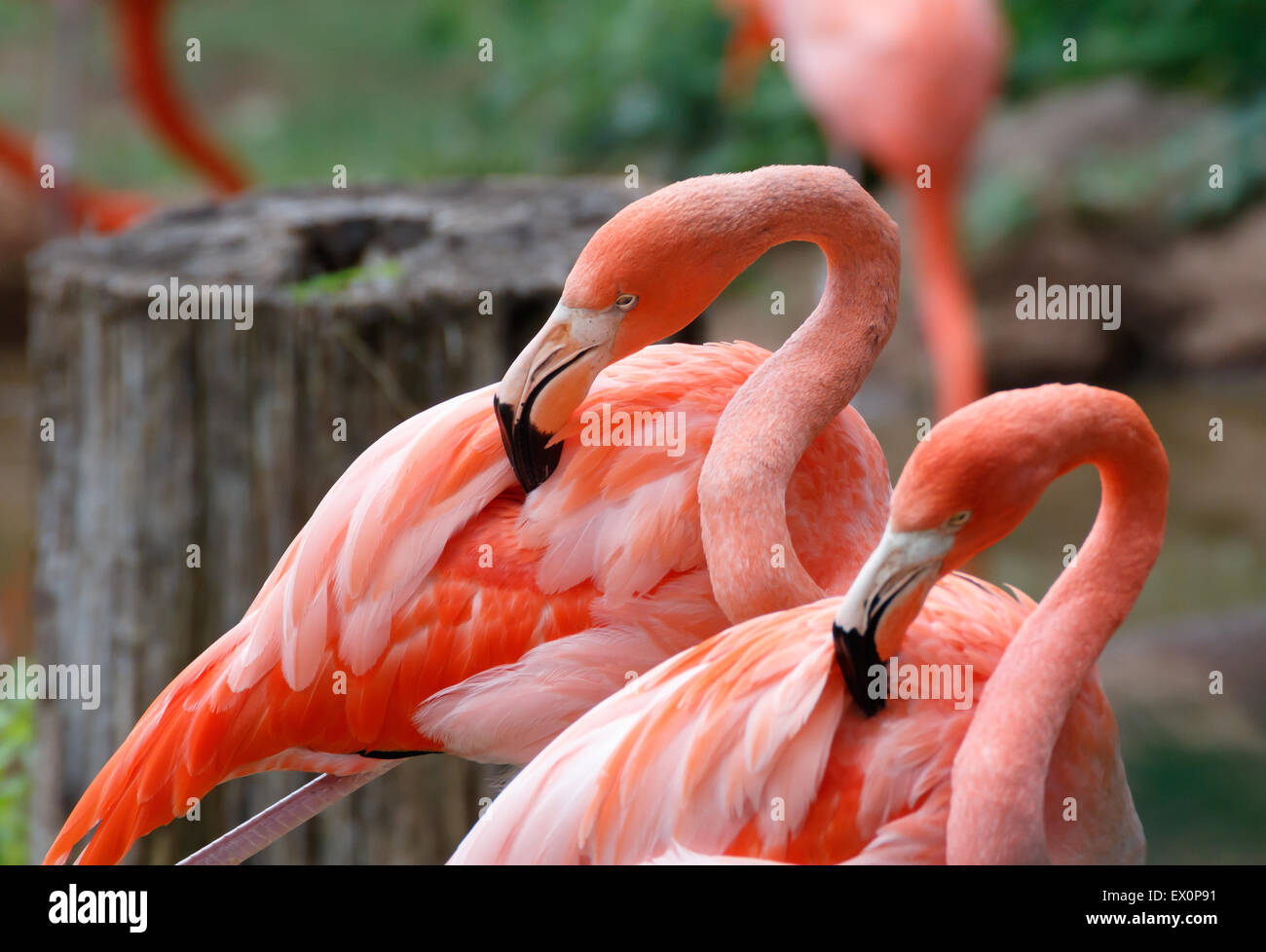 Two flamingos mirror each other in a zoo. - Stock Image