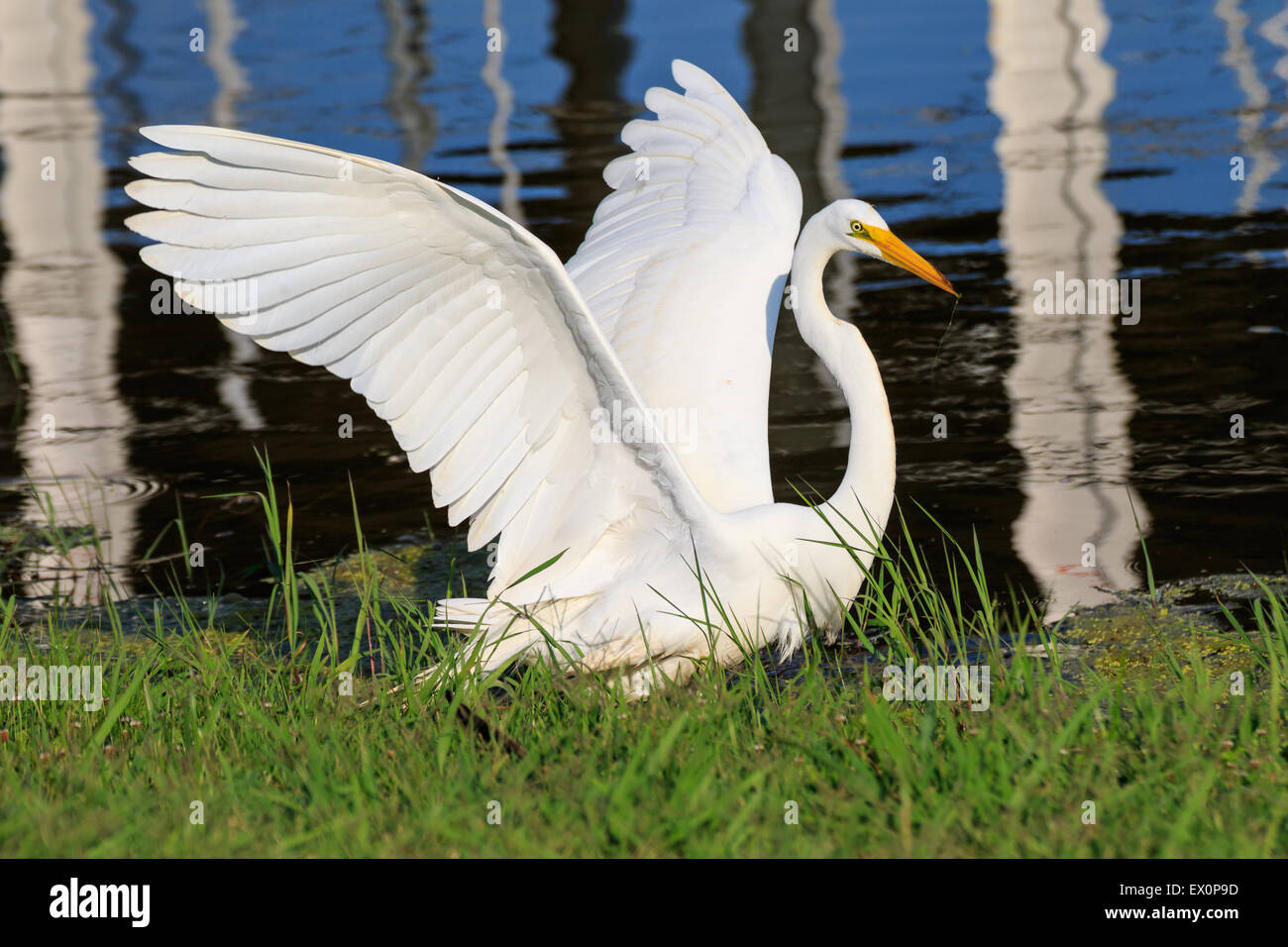 Great Egret On Prowl >> Great White Egrets Mating Stock Photos Great White Egrets Mating
