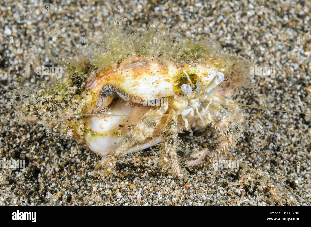 Hermit crab, unknown species, Anilao, Batangas, Philippines, Pacific - Stock Image