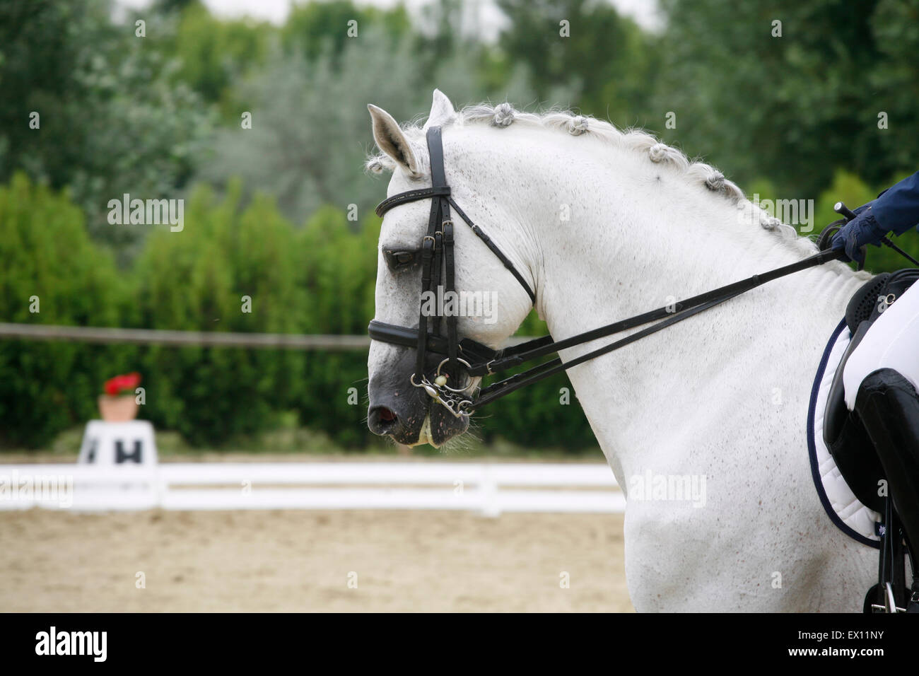 Head shot of a gray dressage sport horse in action. Side view portrait of a beautiful grey dressage horse during Stock Photo
