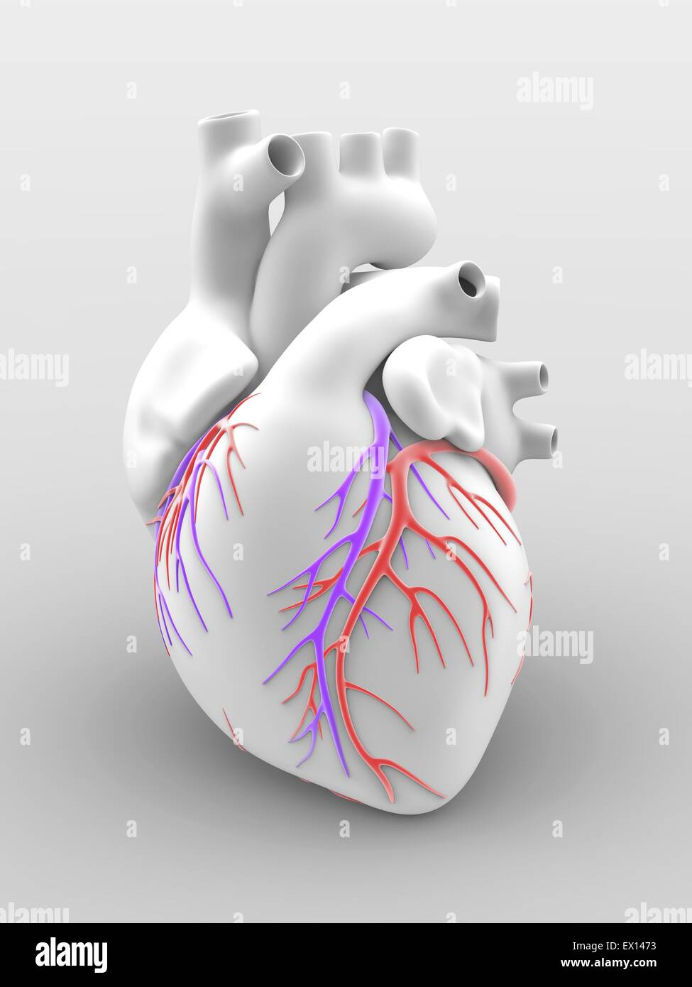 Heart and coronary arteries Artwork of the external anatomy of a ...
