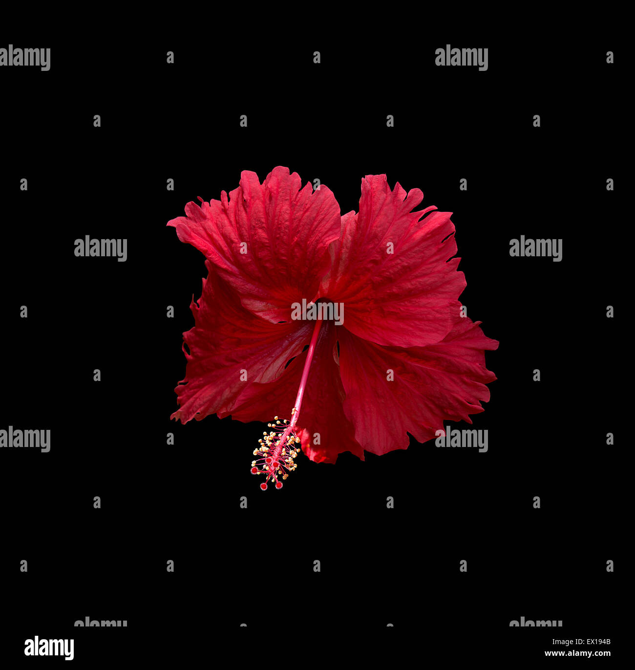 Carmine red hibiscus flower isolated on black background stock photo carmine red hibiscus flower isolated on black background izmirmasajfo