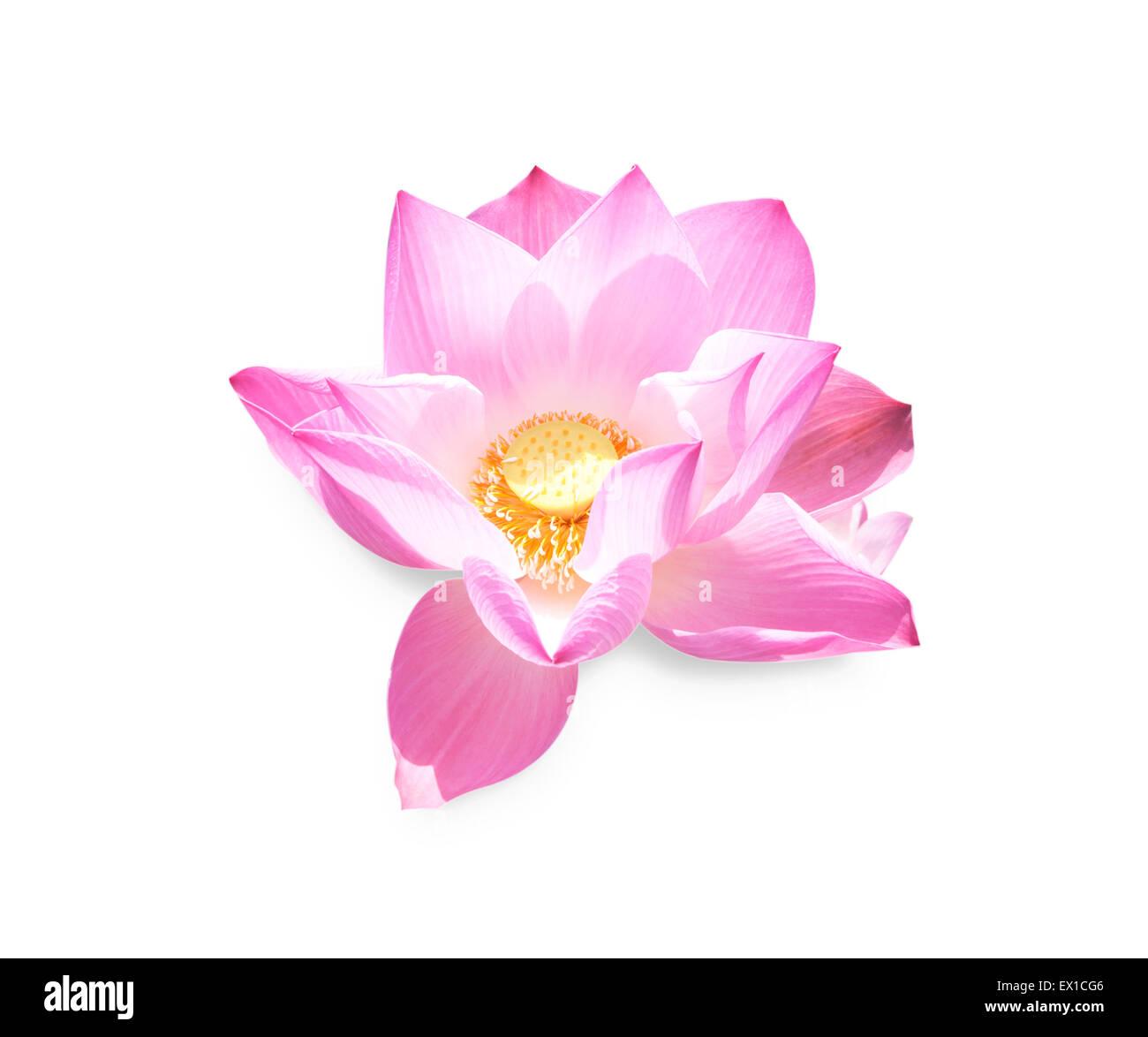 Lotus Flower Blossom Isolated On White Background Stock Photo