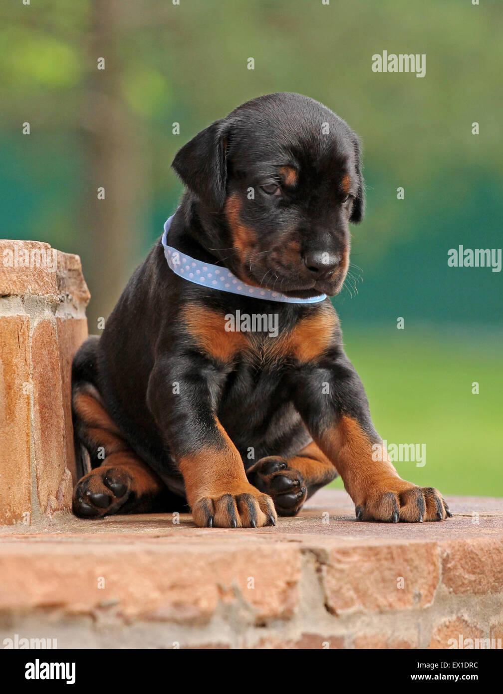 Dobermann puppy on green background - Stock Image