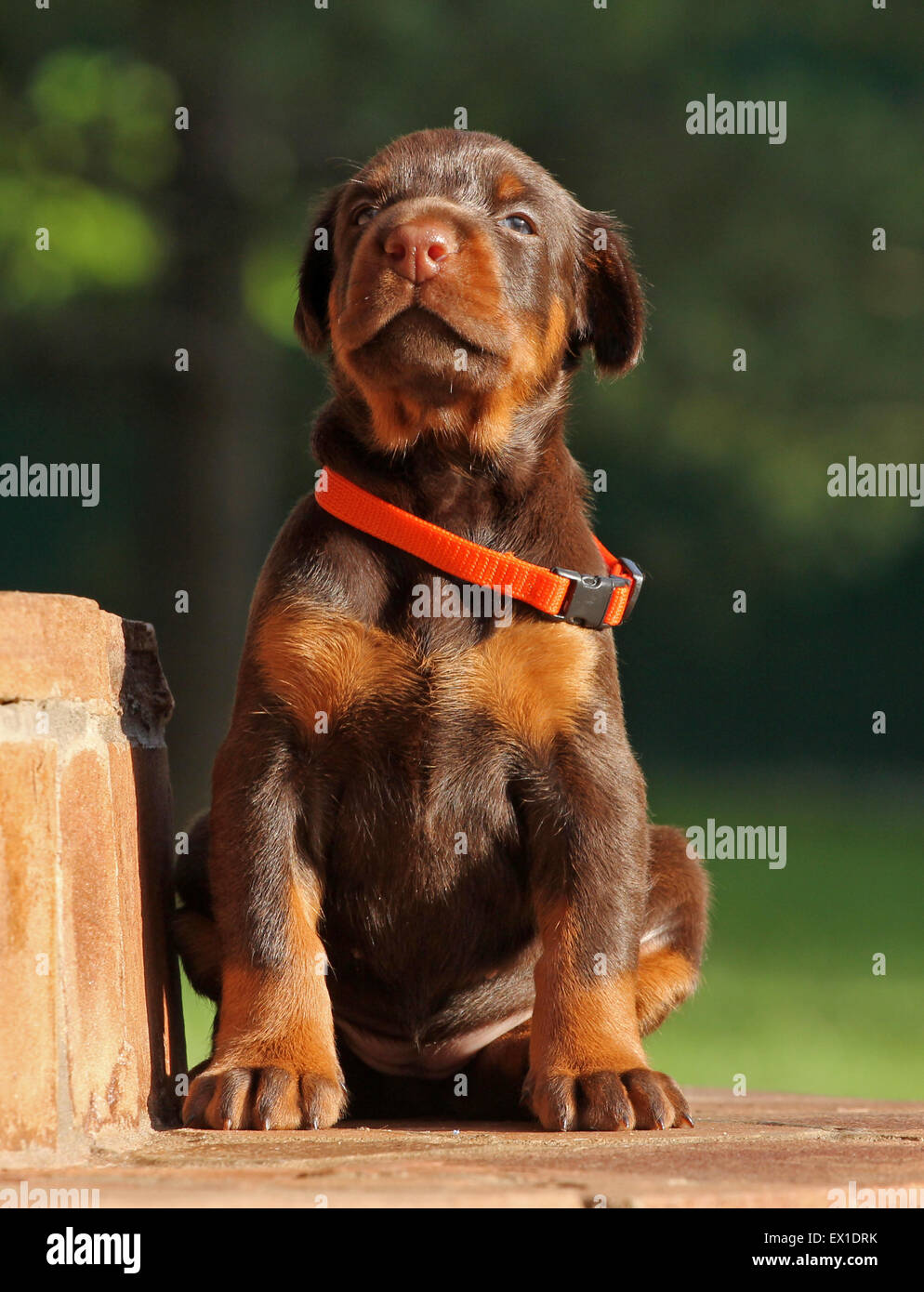 Dobermann puppy having rest on stears - Stock Image
