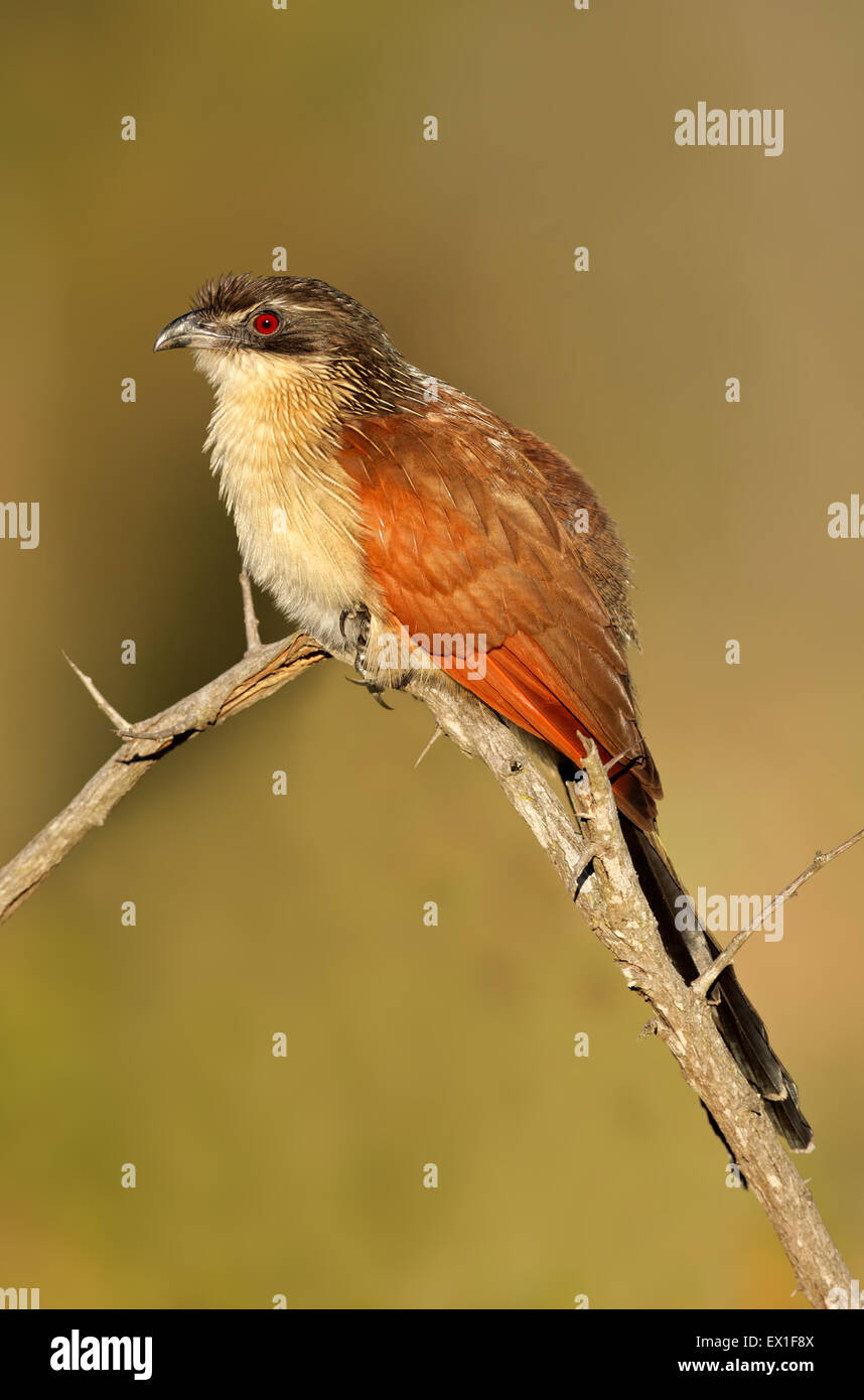 A burchells coucal (Centropus burchellii) perched on a branch, South Africa - Stock Image
