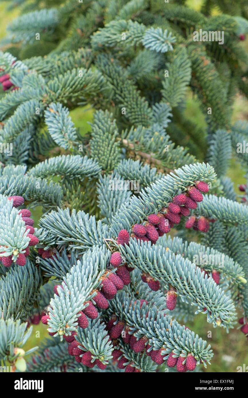 Abies procera 'Glauca' , showing the decorative red cones. - Stock Image