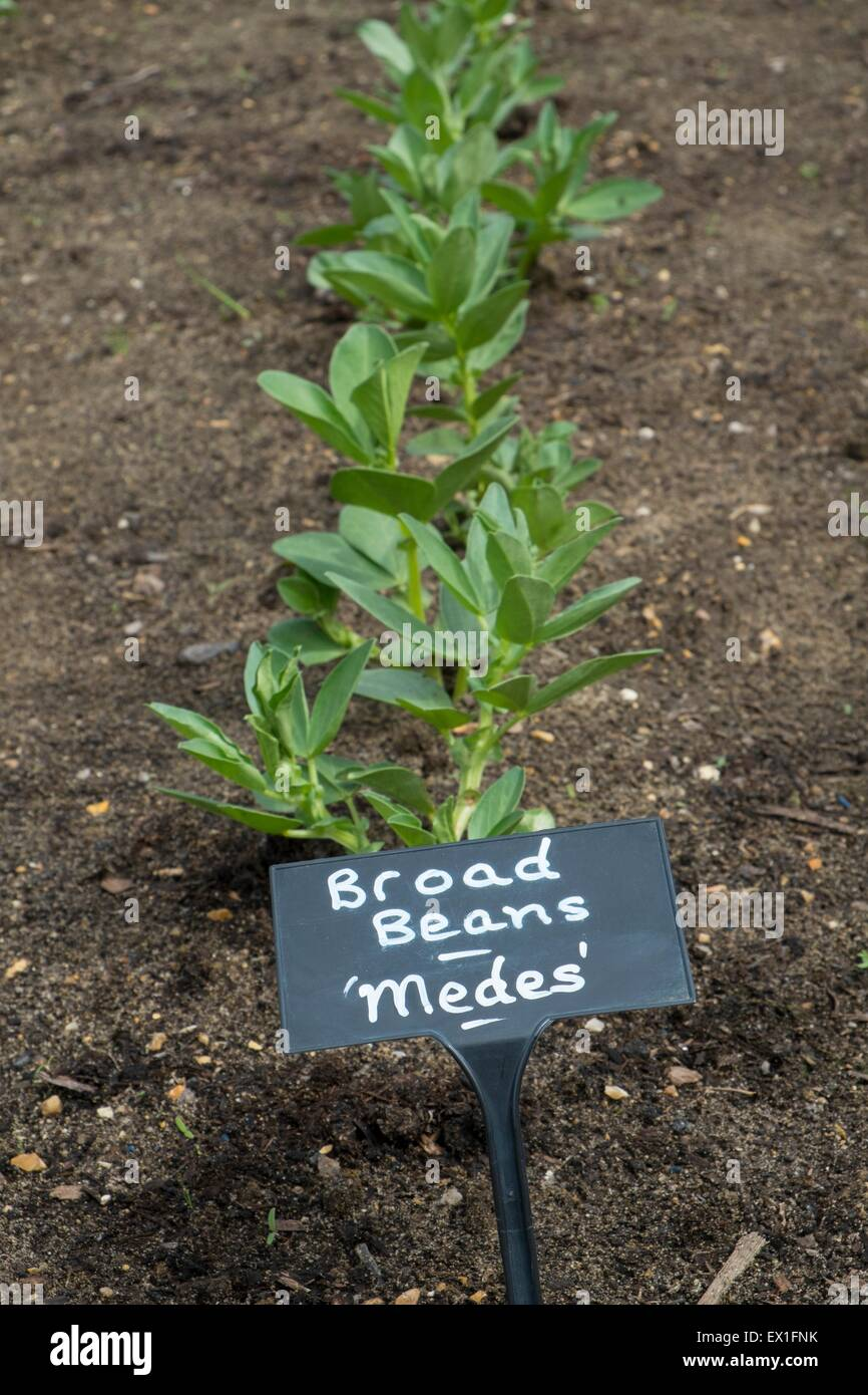 Broad Beans 'Medes' row labeled - Stock Image