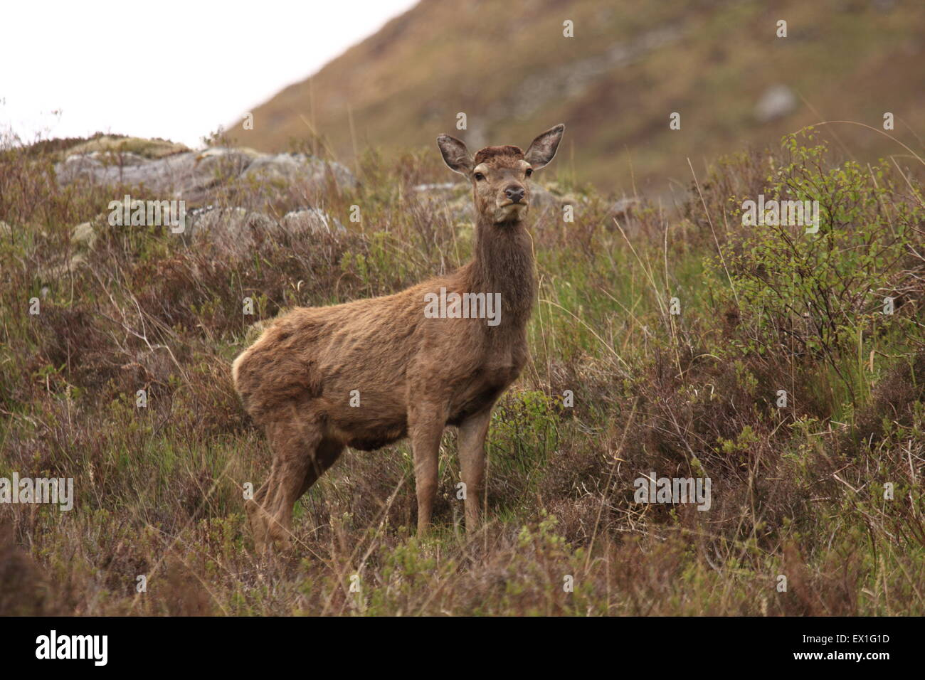 Red Deer Hind in the Scottish Highlands in spring. - Stock Image