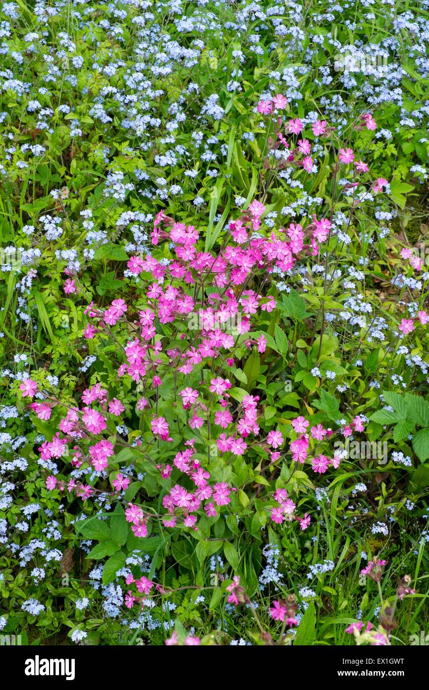 Red Campion - Silene dioica & Wood Forget-me-not - Myosotis sylvatica Stock Photo