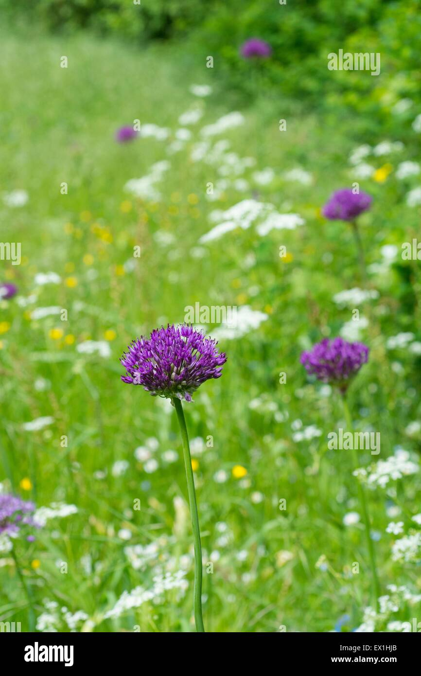 Decorative Alliums flowering in a wildflower lawn in early summer. - Stock Image