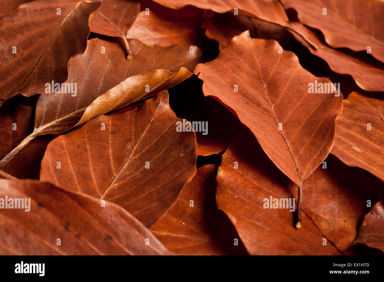 brown leaves - Stock Image
