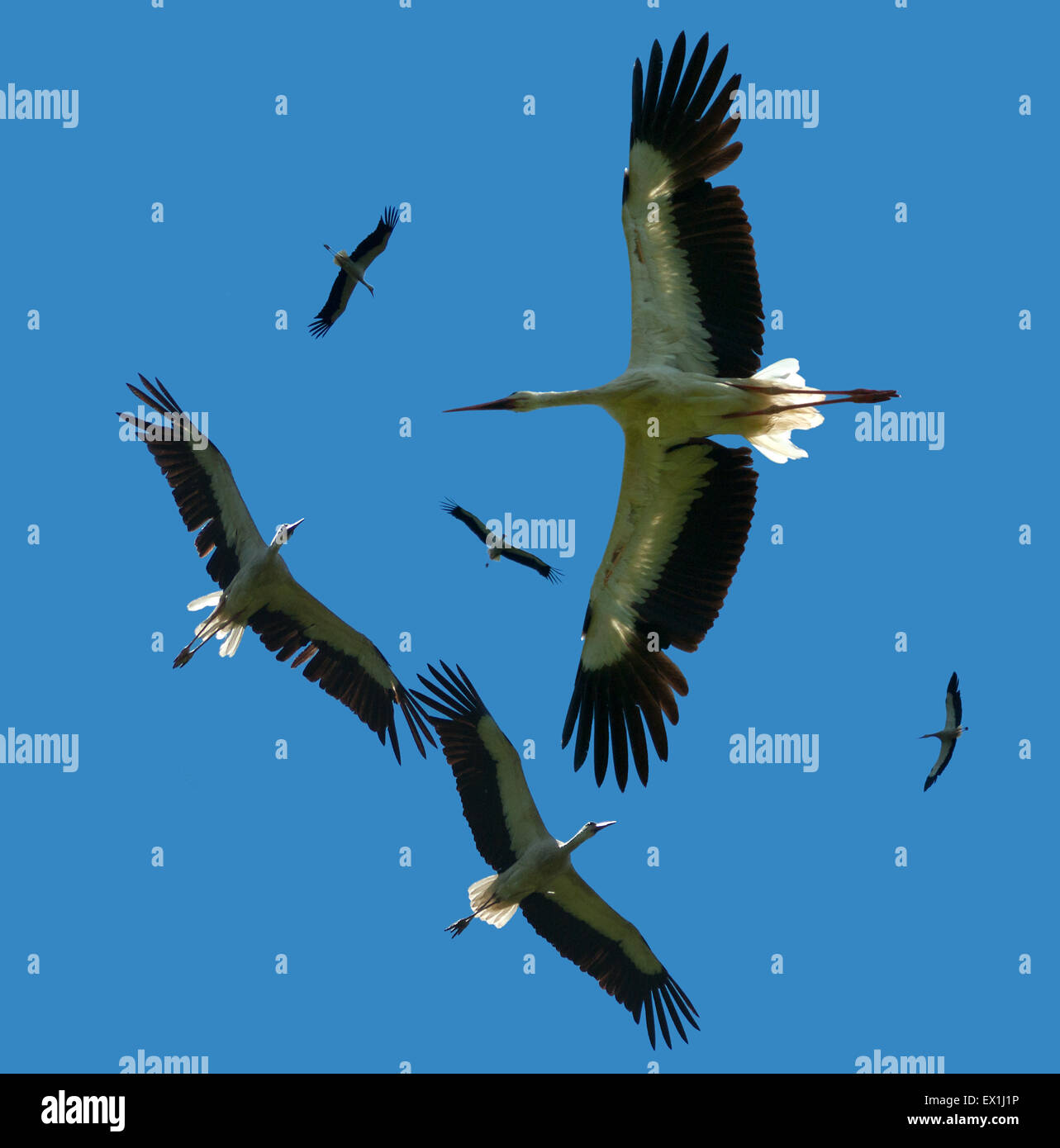 A flock of white storks flying in the sky with clouds (Ciconia ciconia). Stock Photo