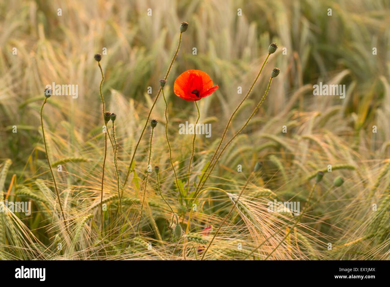 A poppy flower in a field bathed in golden light. - Stock Image