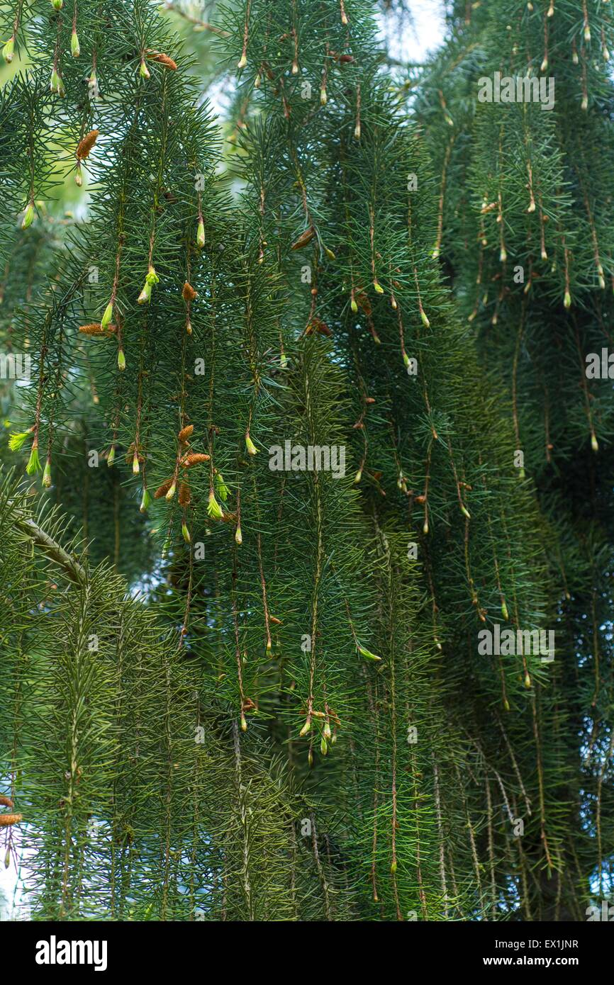 Picea breweriana - Brewer's weeping spruce - Stock Image