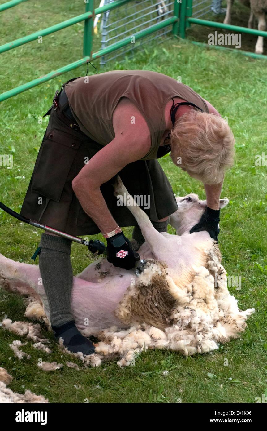 Sheep shearing, Scottish tradition - Stock Image