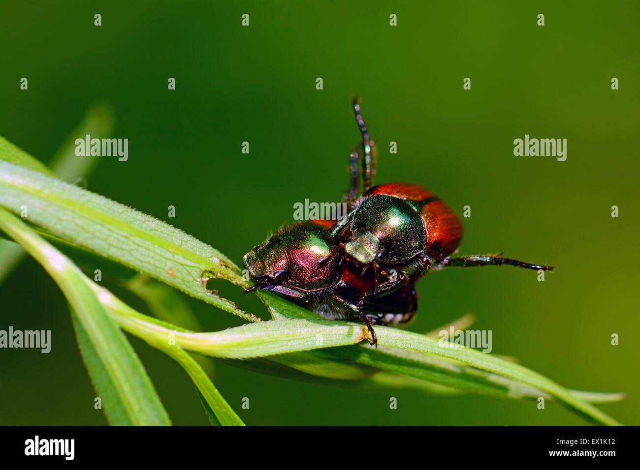 Beetles mating Stock Photo