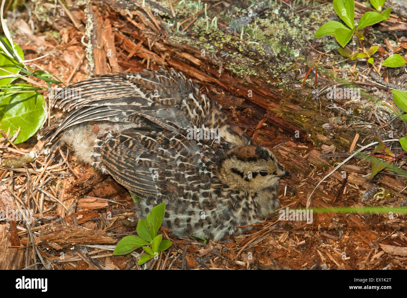 Grouse chicks camouflage - Stock Image