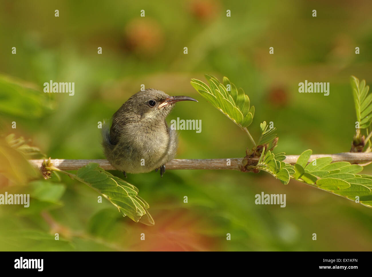 Young fledged Sunbird chick - Stock Image