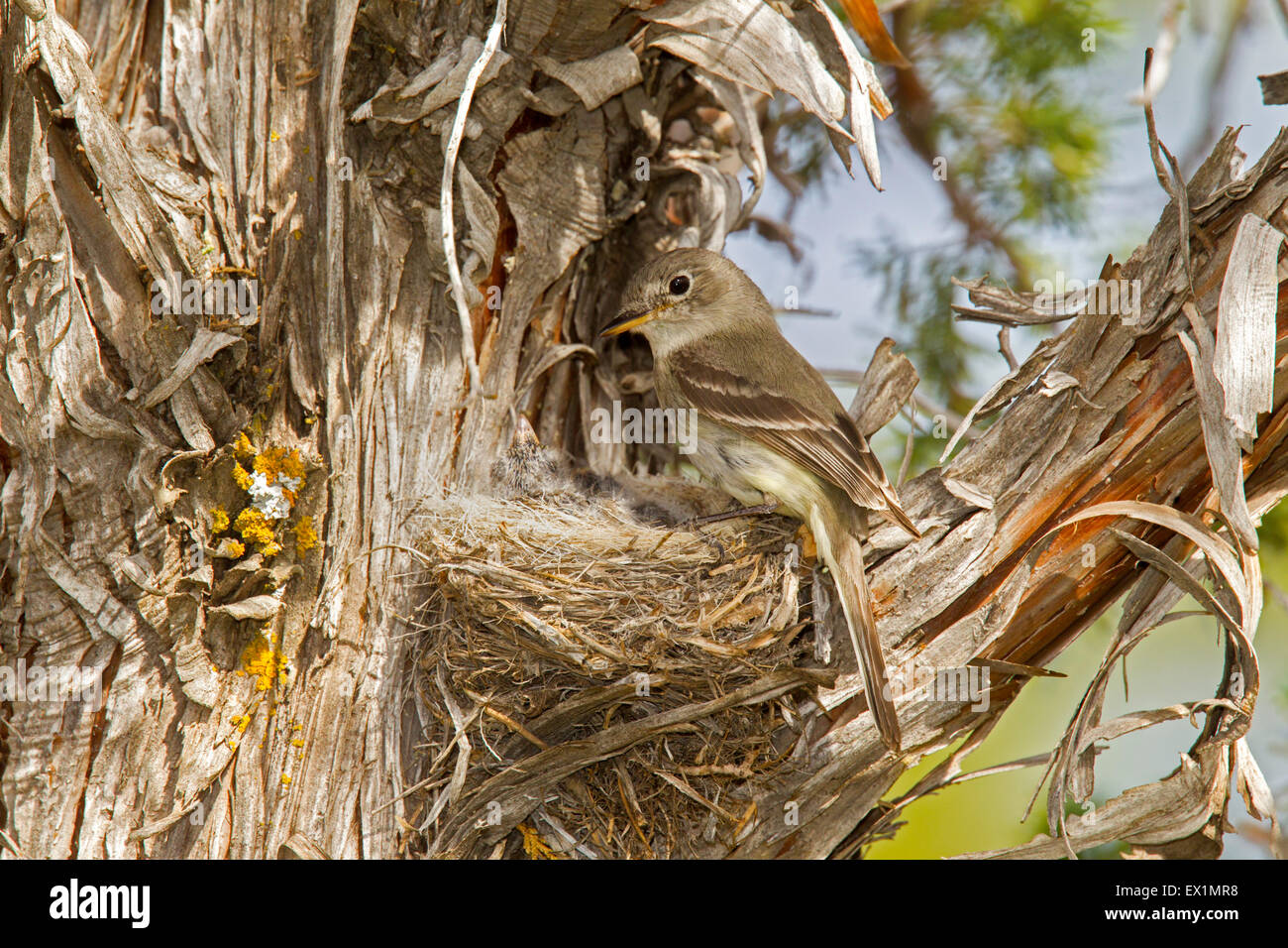 Gray Flycatcher  Empidonax wrightii  near Bryce Canyon, Garfield County, Utah, United States 23 June       Adult - Stock Image