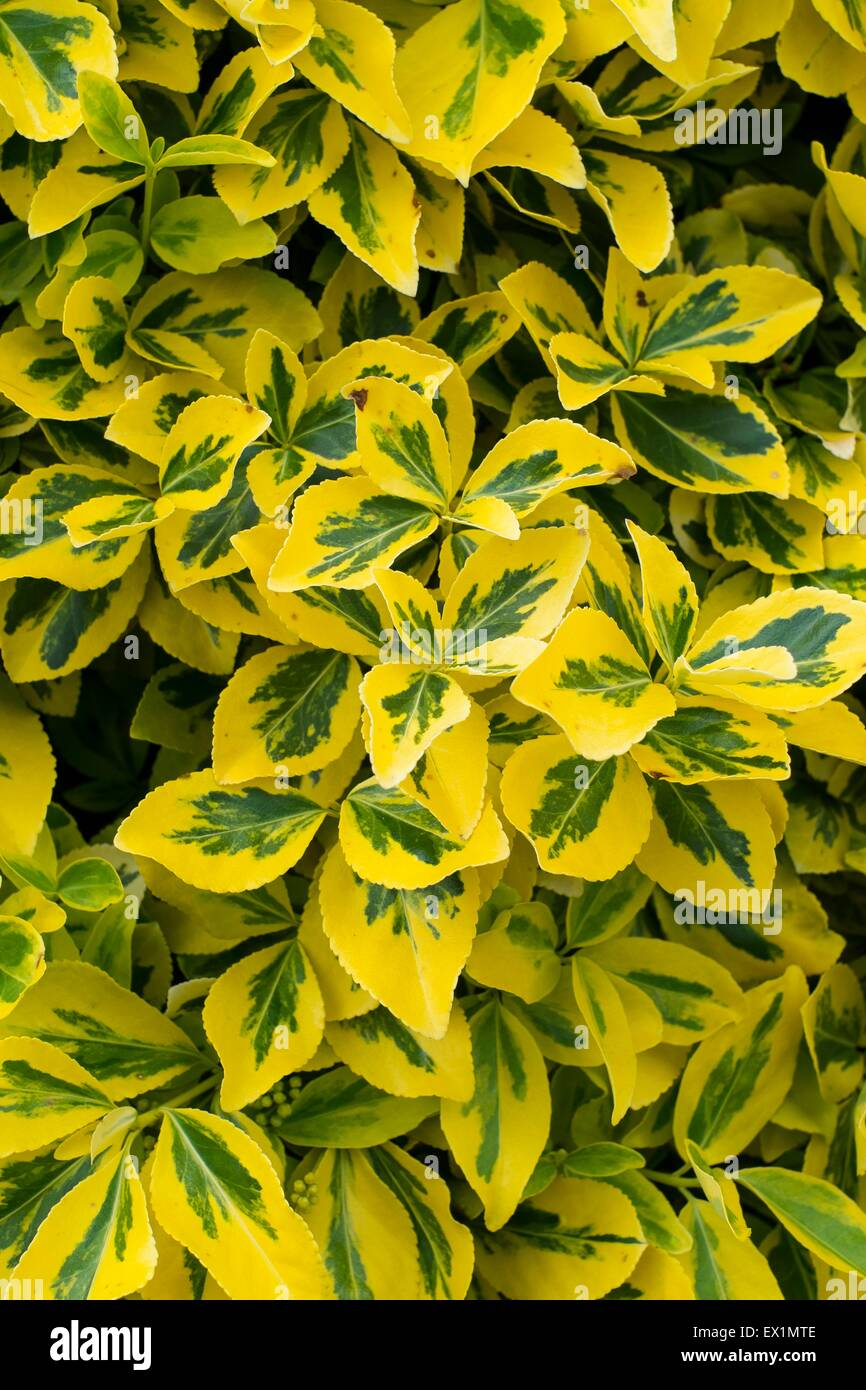 Euonymus fortunei 'Emerald 'n' Gold' - Stock Image