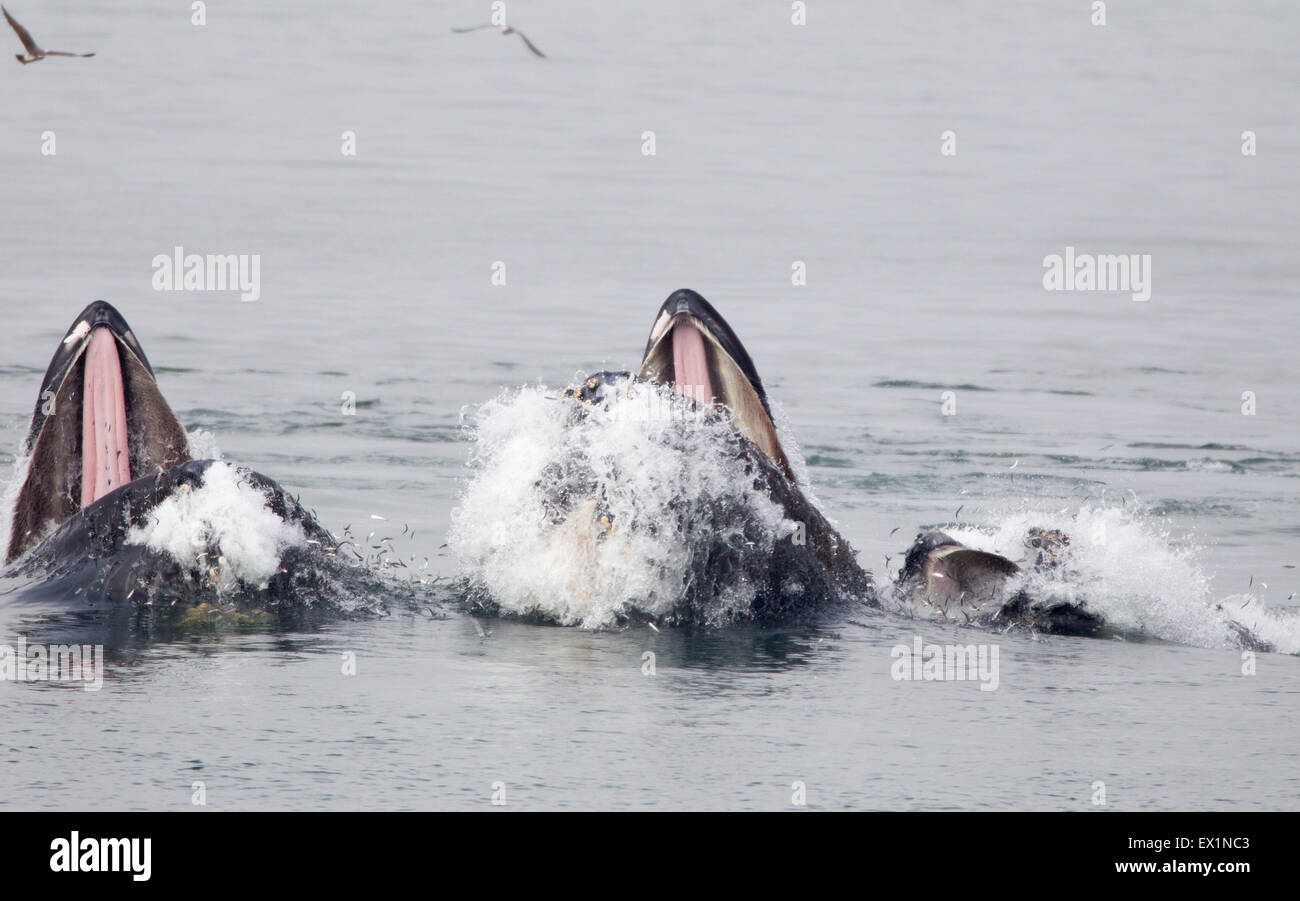 Three Humpback Whales Lunge Feeding Showing Tongues - Stock Image