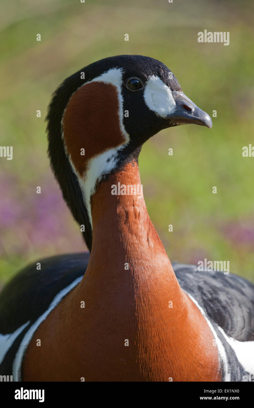 Red-breasted Goose (Branta ruficollis). Head and neck details showing make-up and delineation of color areas on - Stock Image