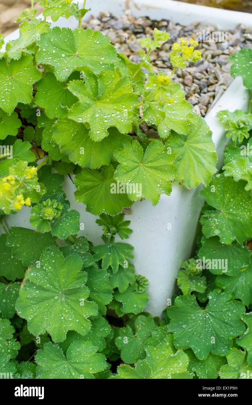 lady's mantle - Alchemilla mollis, growing in an old enameled sink. - Stock Image