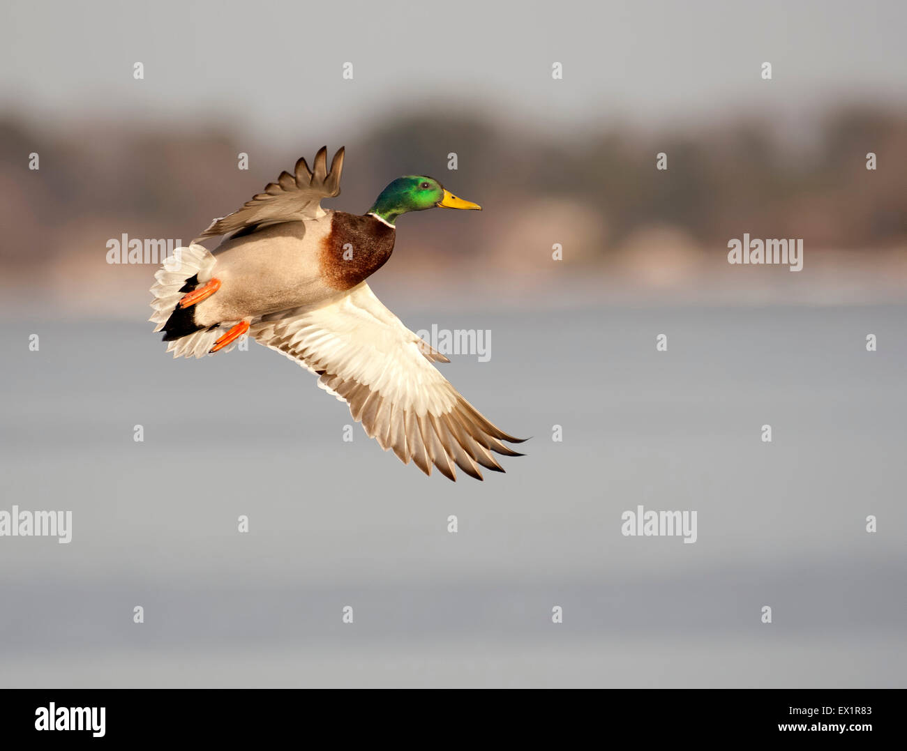 Mallard Duck Flying Over The Frozen River Stock Photo 84862739 Alamy