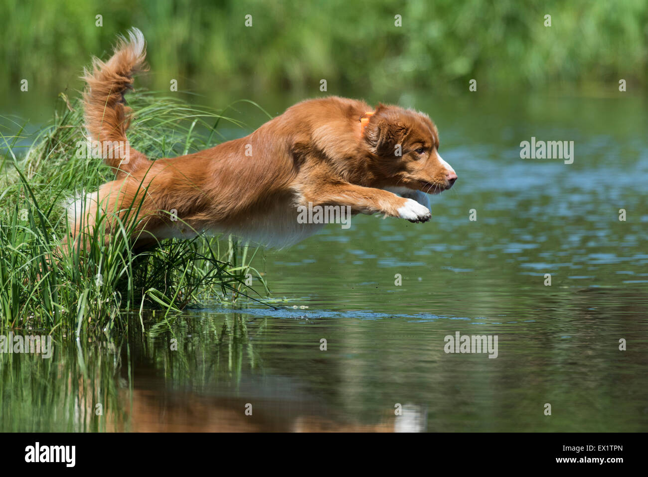 A Nova Scotia Duck Tolling Retriever leaping into the water - Stock Image