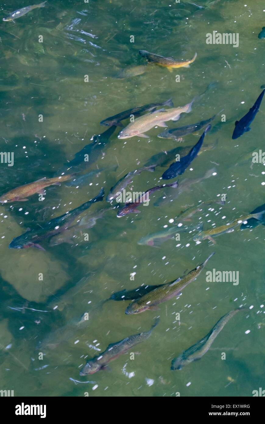 Rainbow trout shoal in freshwater - Stock Image