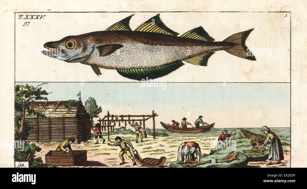 Pollack, Pollachius pollachius 97, and workers preparing and drying fish in a shed, Europe, 18th century. Handcolored - Stock Image