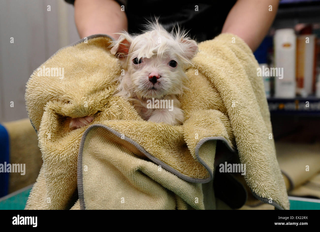 A pet dog is take care of at an animal beauty shop in Changzhi, Shanxi province January 27, 2010.  VCP - Stock Image