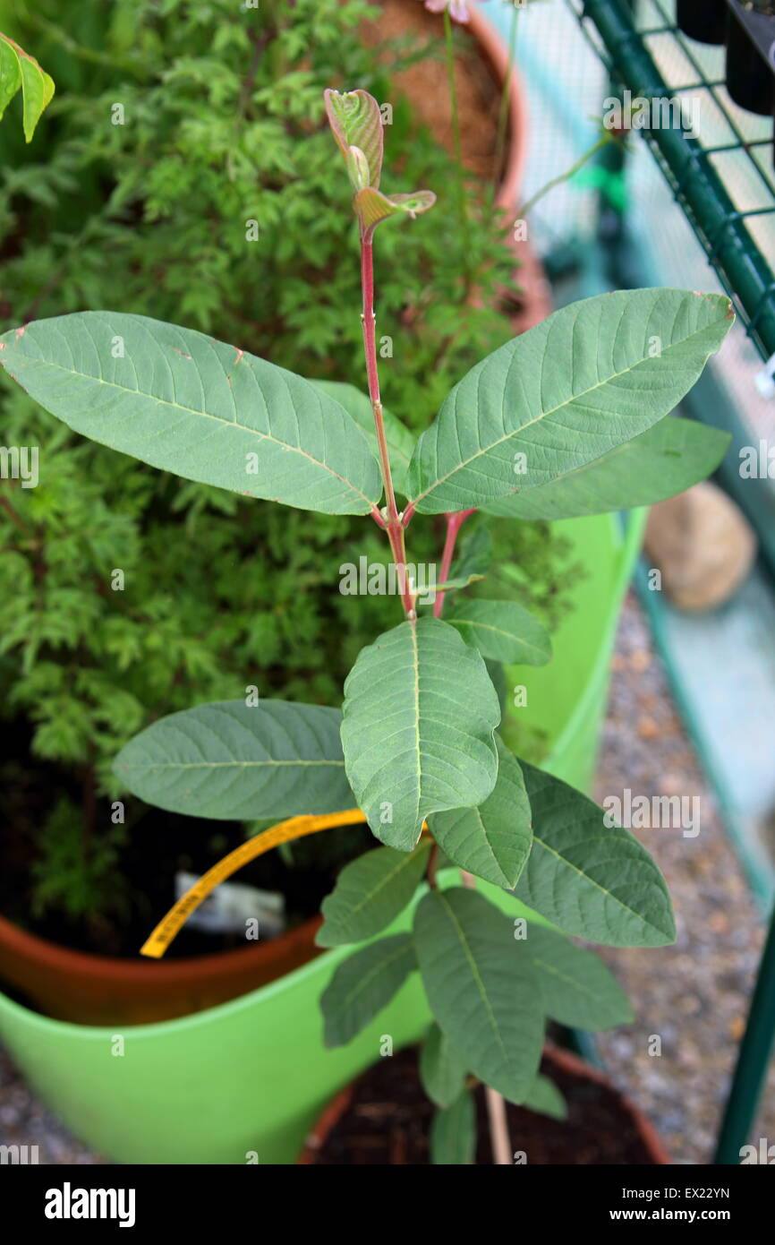 Growing guava or known as Psidium guajava in a pot Stock