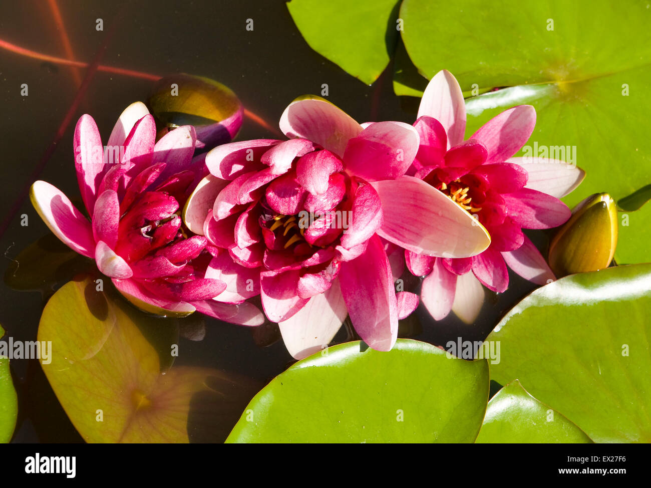Crimson Lily Stock Photos Crimson Lily Stock Images Alamy