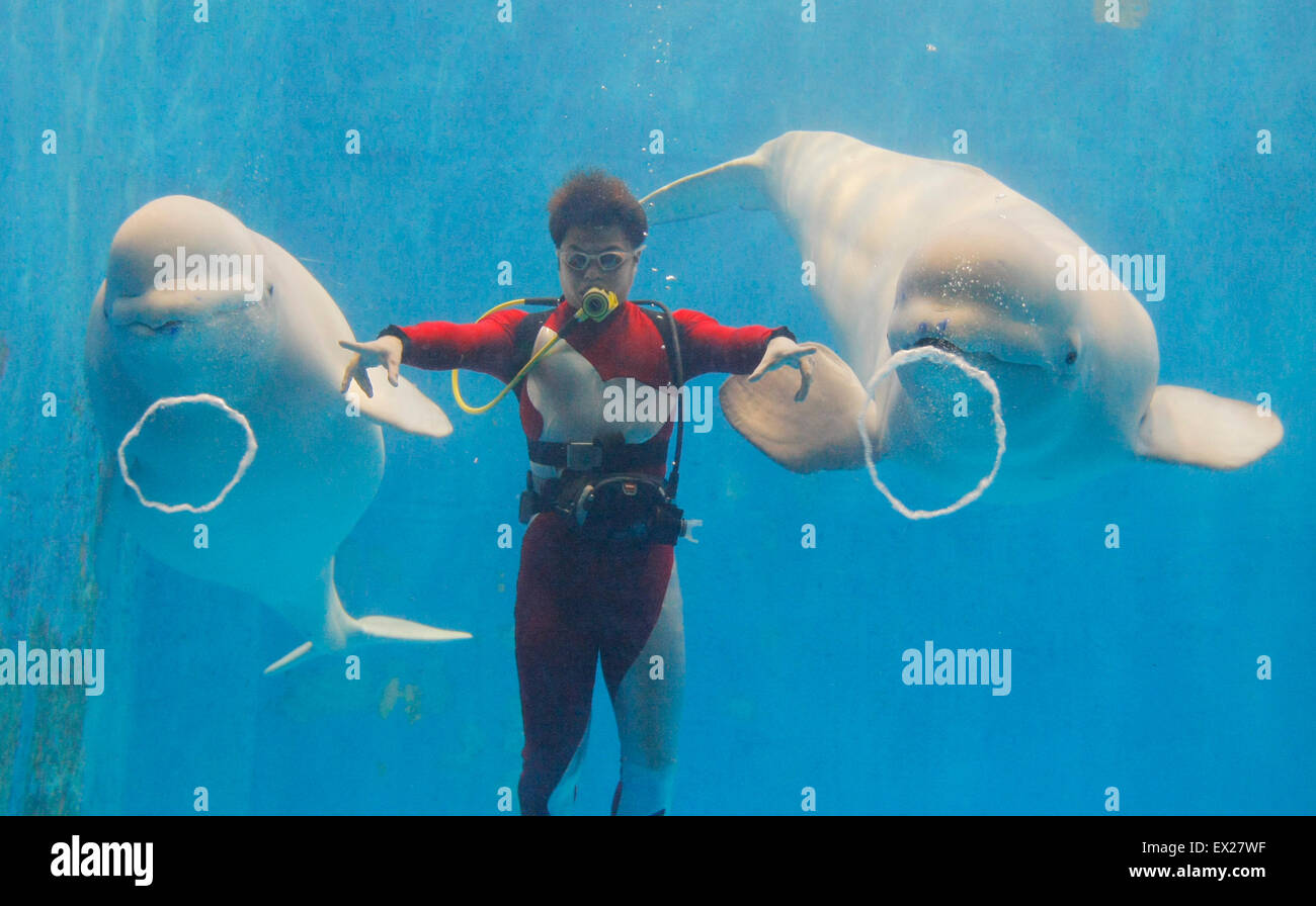 White whales perform to blow ring-shaped bubbles at the Harbin Polarland, Heilongjiang province February 2, 2010. - Stock Image