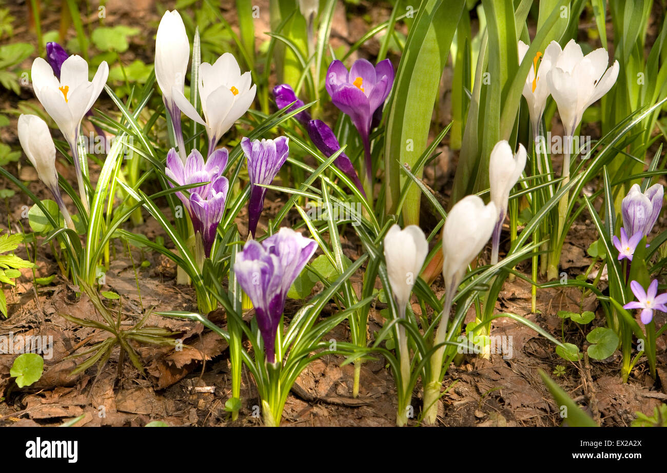 First Spring Flowers Crocuses Of White And Purple Colour On Ground