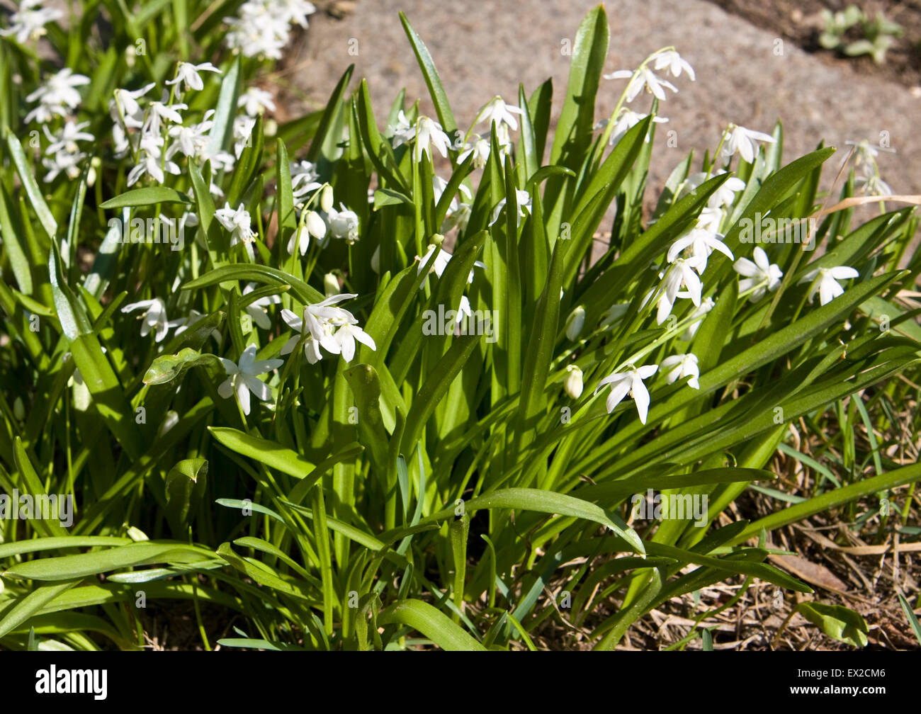 First spring flowers white scilla siberica on stones stock photo first spring flowers white scilla siberica on stones mightylinksfo